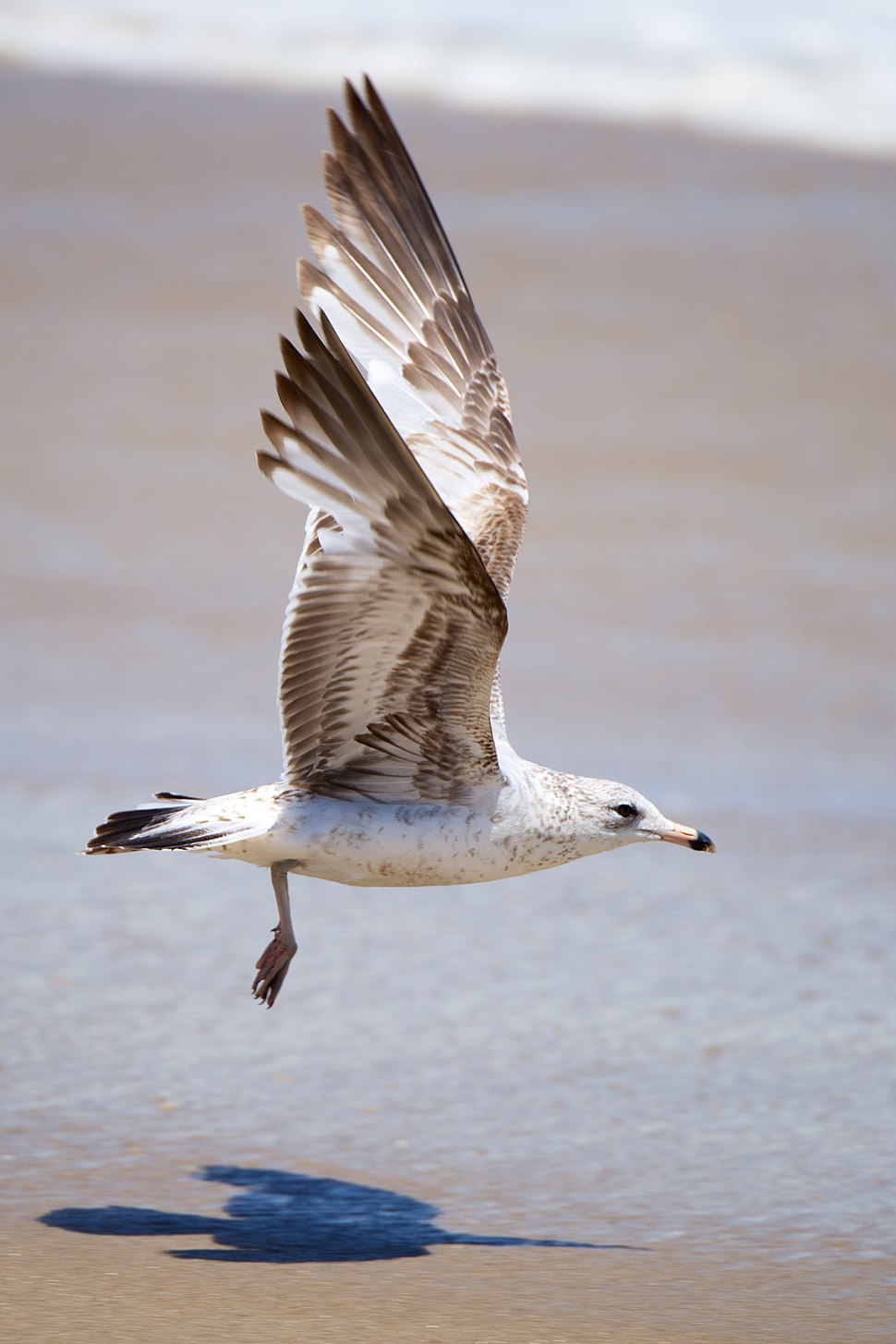 Seagull taking off the Sandy Hook shore