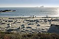 Seals at Piedras Blancas elephant seal rookery 2013 01.jpg