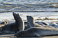Seals at Piedras Blancas elephant seal rookery 2013 03.jpg