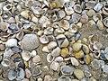 Seashells (8666855260).jpg