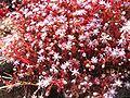 Sedum caeruleum.jpg