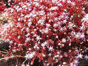 Sedum - Sedum caeruleum