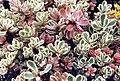 Sedum spurium 'tricolor'.jpg