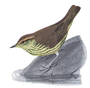 Northern waterthrush - Illustration by Louis Agassiz Fuertes