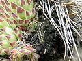 SempervivumPittoniiCrassulaceae Leaves KraubathGulsen.jpg