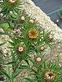 Sent as Carduncellus monspeliensis - Flickr - peganum (2).jpg