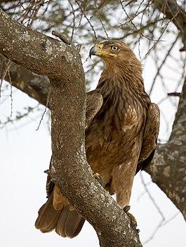фото орёл птицы
