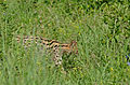 Serval (Leptailurus serval) in the grass (16579529791).jpg
