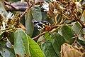 Setophaga fusca Monteverde 08.jpg
