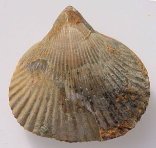 <i>Sharpirhynchia</i> genus of brachiopods