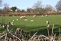 Sheep and Lambs behind the Hedge - geograph.org.uk - 364635.jpg