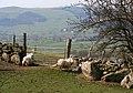 Sheep and lamb by drystone wall - geograph.org.uk - 387400.jpg