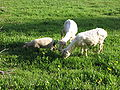 Sheep at Erlenbruck 5324.jpg