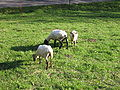 Sheep at Erlenbruck 5338.jpg