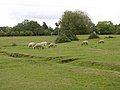 Sheep grazing on Penn Common - geograph.org.uk - 59888.jpg