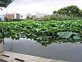 Shinobazu ike by Adonis Chen in Ueno Park, Tokyo.jpg