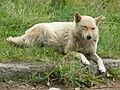 Siberian dog.jpg