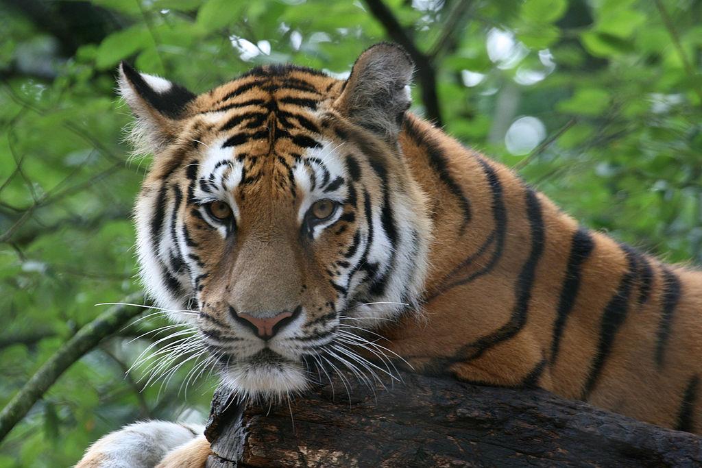 Siberian tiger Amneville Zoo