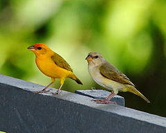 Sicalis columbiana - Orange-fronted Yellow Finch (couple).JPG
