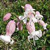 Silene-vulgaris(Blueten).jpg
