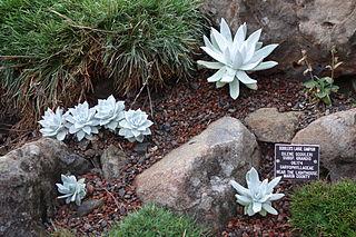 <i>Silene scouleri</i> species of plant