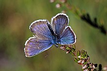 Extreme close-up of blue and purple iridescent butterfly on a flower, perhaps heather.