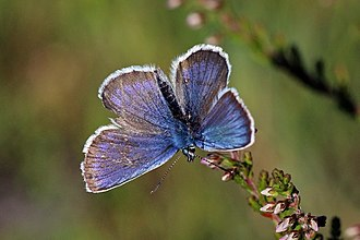Silver-studded blue - Male, Hampshire, England