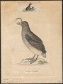 Simorhynchus kamtschaticus - 1700-1880 - Print - Iconographia Zoologica - Special Collections University of Amsterdam - UBA01 IZ17800197.tif