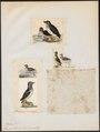 Simorhynchus psittaculus - 1700-1880 - Print - Iconographia Zoologica - Special Collections University of Amsterdam - UBA01 IZ17800199.tif