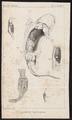 Siredon mexicanum - anatomie - 1700-1880 - Print - Iconographia Zoologica - Special Collections University of Amsterdam - UBA01 IZ11400145.tif