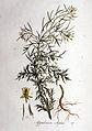 Sisymbrium sophia — Flora Batava — Volume v1.jpg