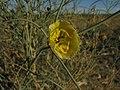 Sisyndite spartea Zygophyllaceae IMG 8184.JPG