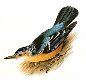 Beautiful nuthatch - Drawing depicting the main morphological features