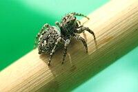 Sitticus pubescens.jpg