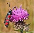 Six-spot Burnet, Zygaena filipendulae, In Explore ^66 - Flickr - pete. ^hwcp.jpg