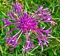 Skabiosen-Flockenblume bei Zell.jpg