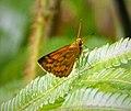Skipper. Hesperidae (48851429168).jpg