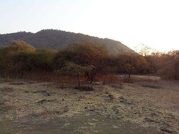 Sleeping lion - Gir Forest1.jpg
