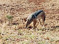 Small jackal looking for food.jpg