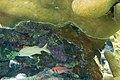 Smallmouth grunt Haemulon chrysargyreum and blackbar soldierfish Myripristis jacobus (2412819319).jpg