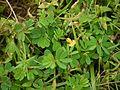 Smithia bigemina Dalzell (4943656989).jpg