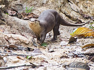 Smooth-coated otter - A smooth-coated otter photographed in Borneo, Malaysia