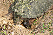 land turtle laying an egg in a hole
