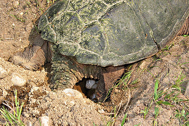 how to tell snapping turtle gender