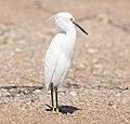 Snowy Egret, east Florida coast 01.jpg