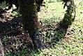 Socratea exorrhiza 22zz.jpg