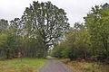 Sodeiche im Forst Rundshorn IMG 1433.jpg