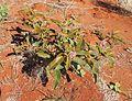 Solanum centrale Central Desert.jpg