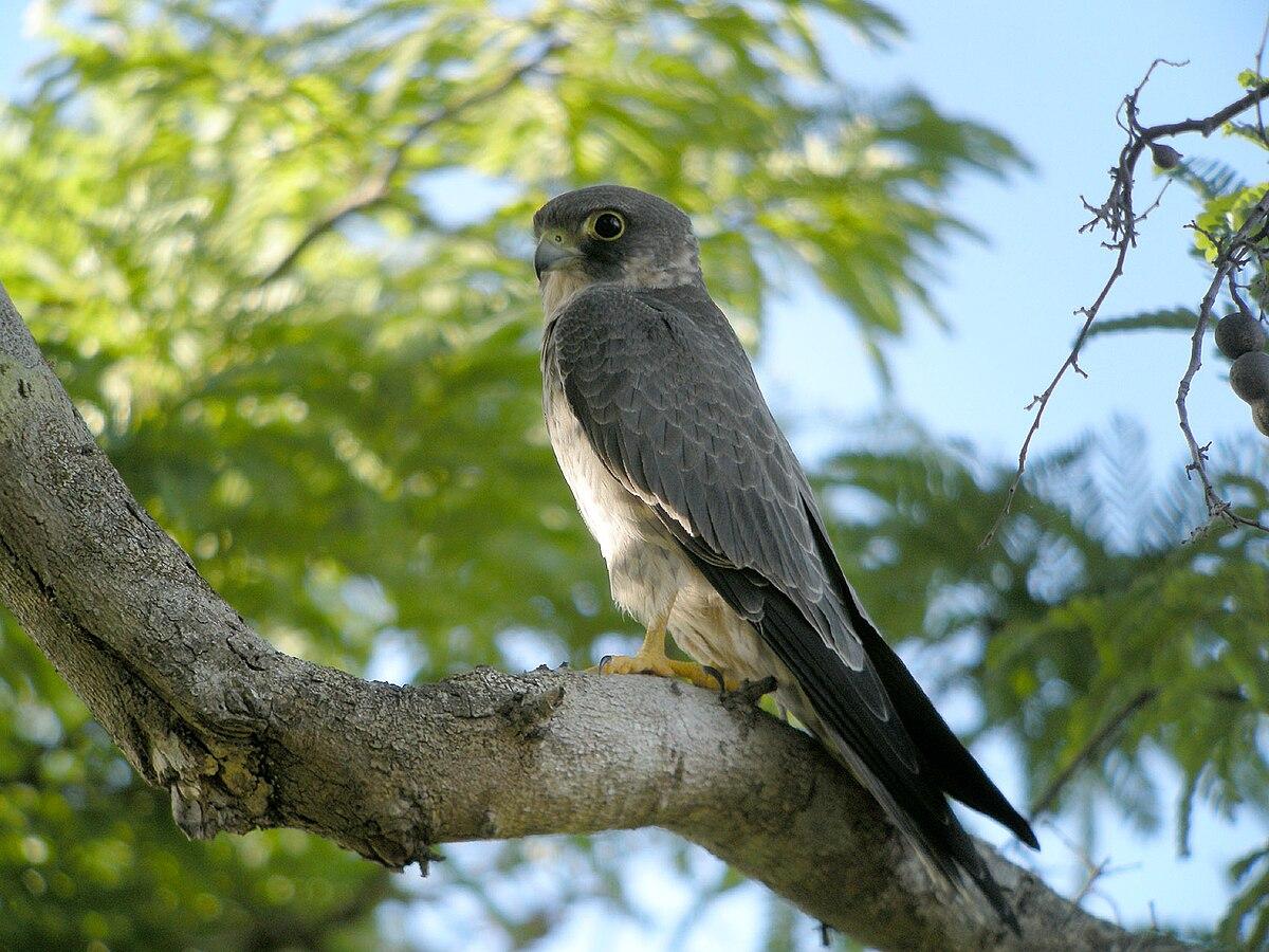 Sooty Falcon Wikipedia