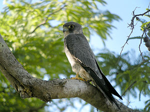 Wildlife of the United Arab Emirates - The sooty falcon breeds in the UAE